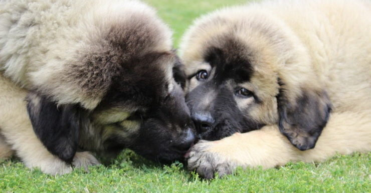 Two Caucasian Puppies