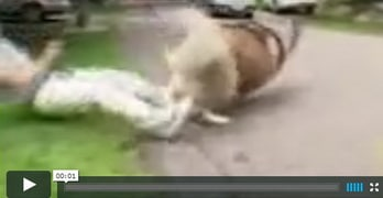 caucasian mountain dog video