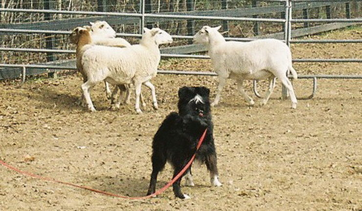 Australian Shepherd Herding