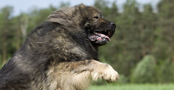 Can caucasian sheperd dog kill a wolf?