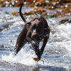 How do you exercise your German Shorthaired Pointer?