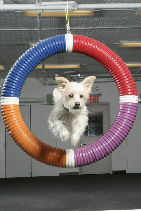 training dog agility