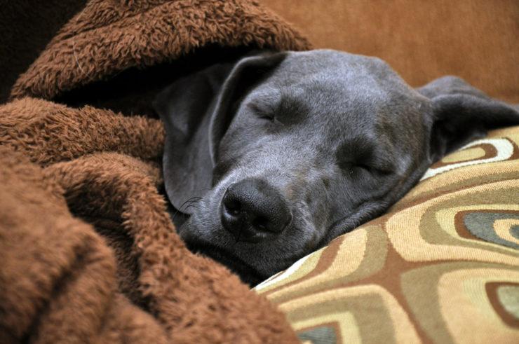 4 months great dane puppy sleeping