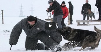 Caucasian Mountain Dog Attack Video