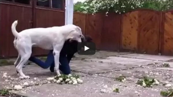 central asian shepherd dog play video