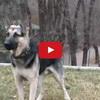 Russian German Shepherd Training Video