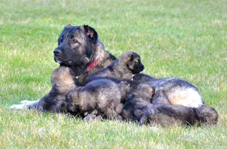 caucasian ovcharka female with puppies