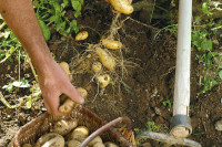 Légumes et potager - Fiche de culture : la pomme de terre