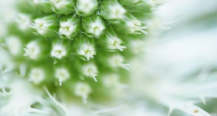 Wit - groene distel - prikkelbaar - december stress