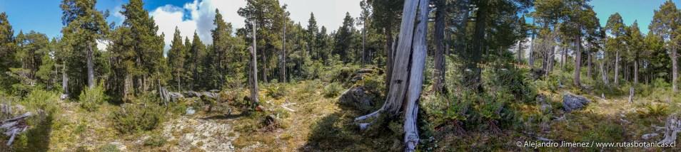 Bosque de Alerce