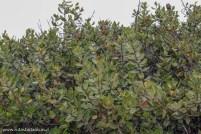 Pouteria splendens