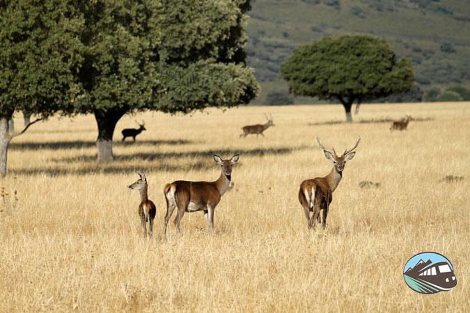 La familia ciervo dispuesta para la foto – Parque Cabañeros
