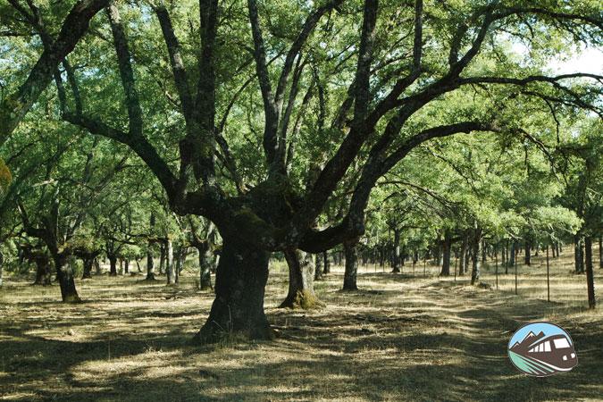 Uno de los Quejigo centenario del parque - Parque Cabañeros