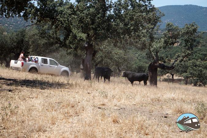 Safari de toros bravos - Alqueva