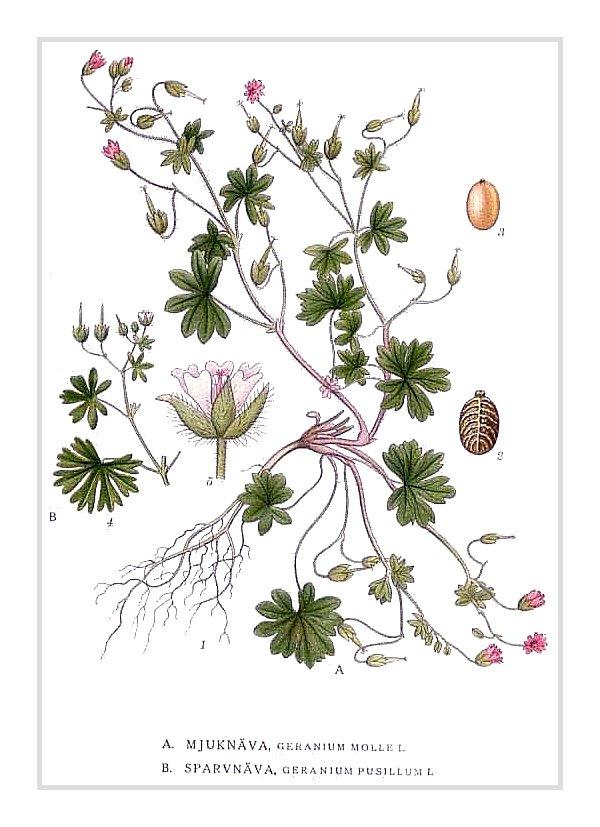 Kleiner Storchschnabel – Geranium pusillum