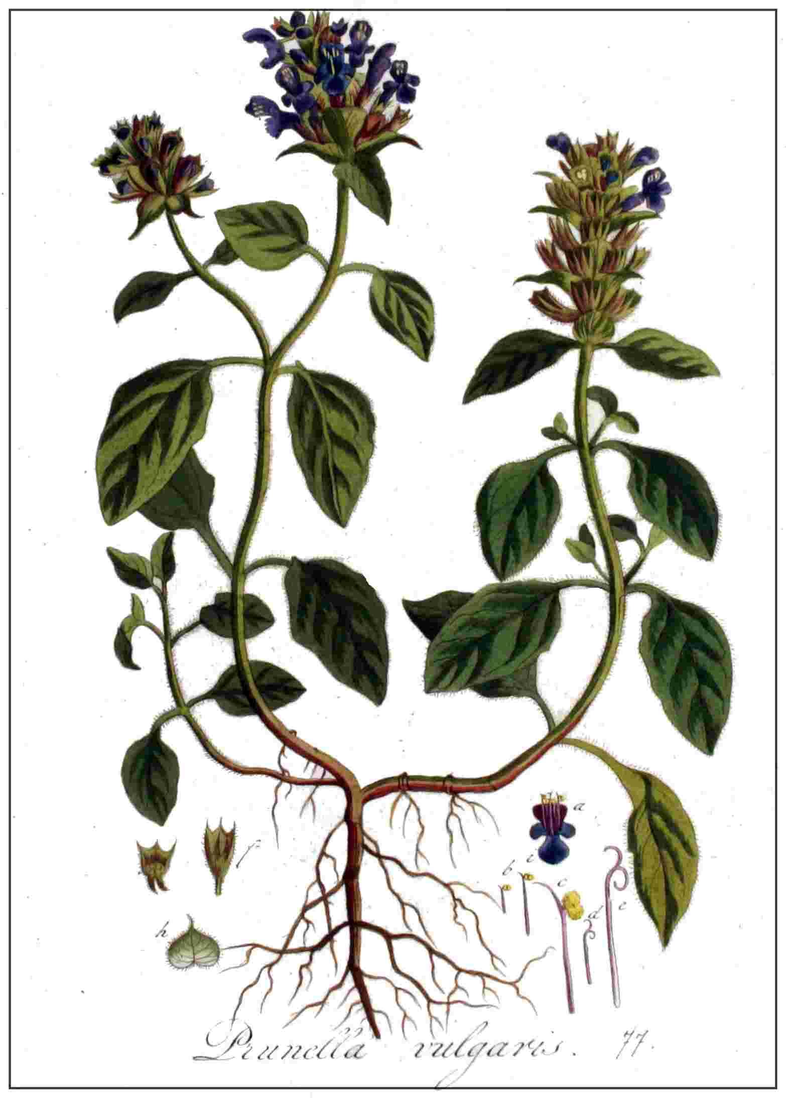 Kleine Braunelle – Prunella vulgaris