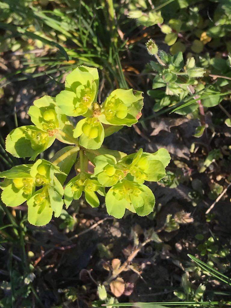 Sonnwend-Wolfsmilch – Euphorbia helioscopia