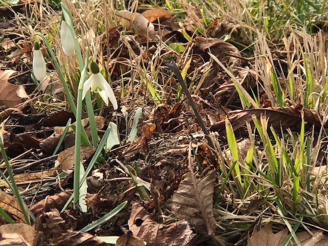 Schneeglöckchen – Galanthus nivalis