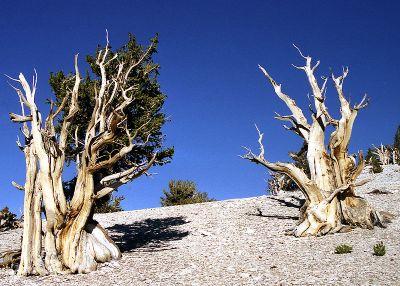 800px-Bristlecone_Pines,_California