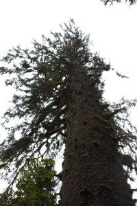 Big Spruce Tree