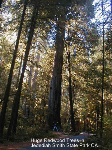 redwoods,jedediah smith state park, camping, rving,drycamping