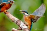 IJsvogel (Alcedo atthis) mannetje en juveniel vrouwtje