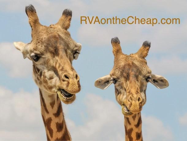 giraffe-901009_1280