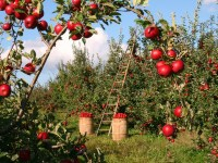 Orchards and Berry Farms
