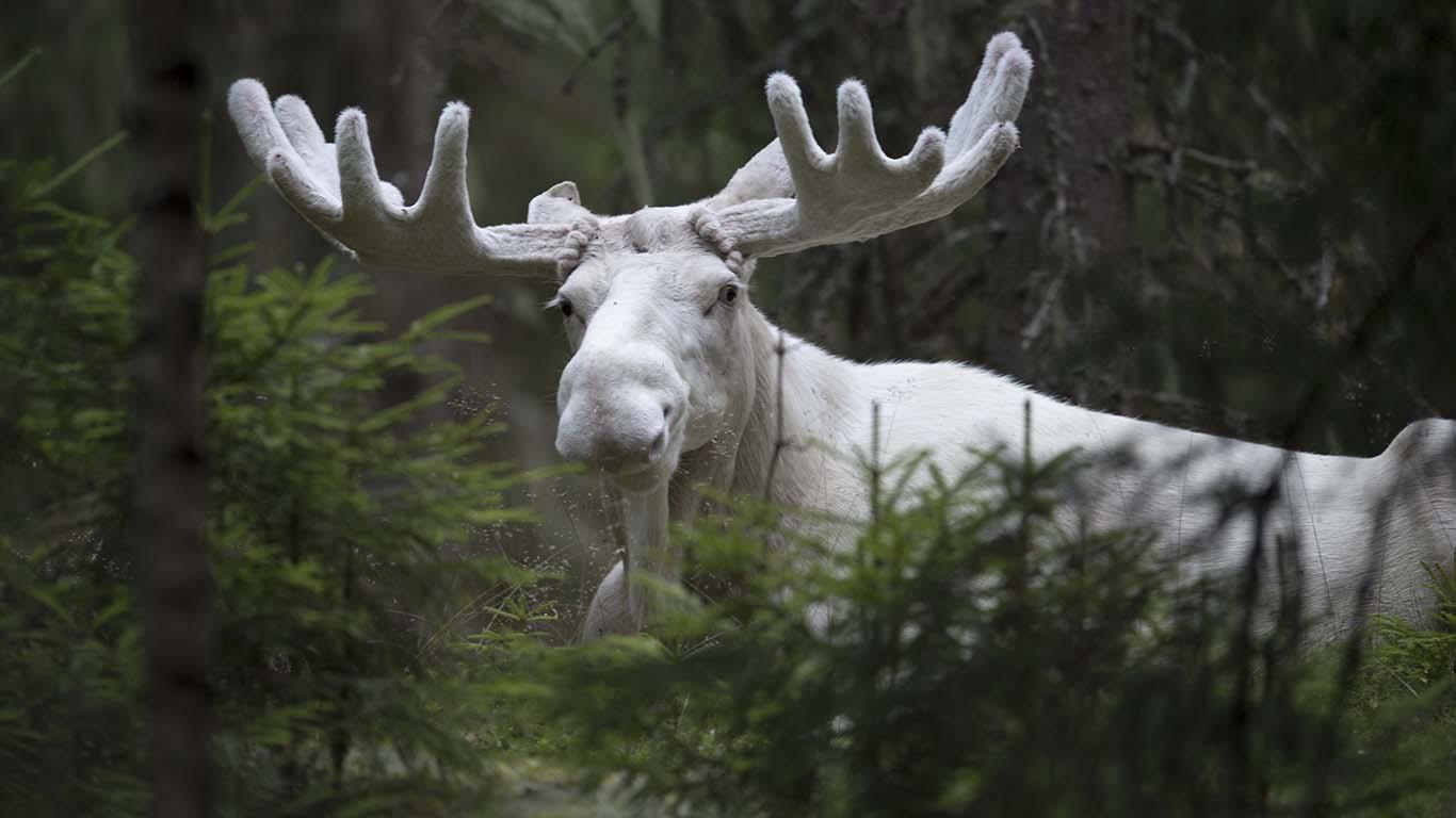 Naturfotograf Roger Vikström. Vit älg