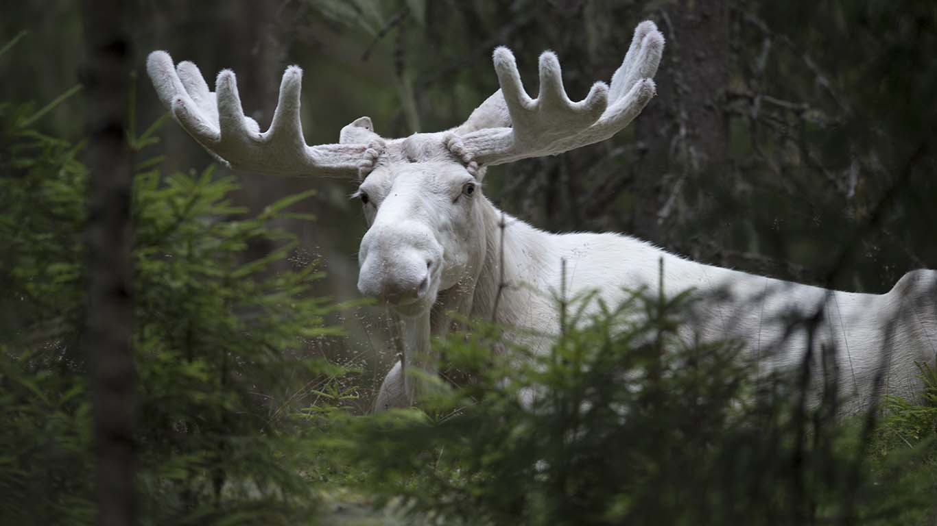 Spirit moose Vit Älg ©Foto Roger Vikström