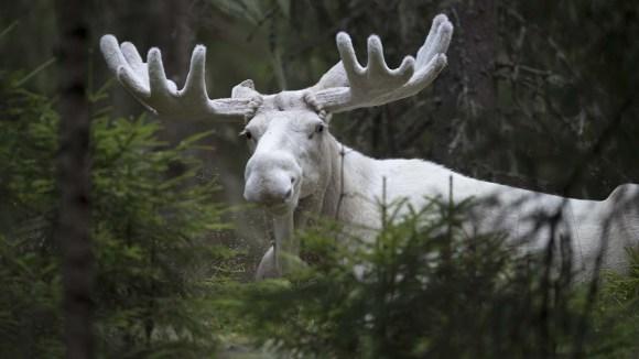 Spirit moose Vit Älg