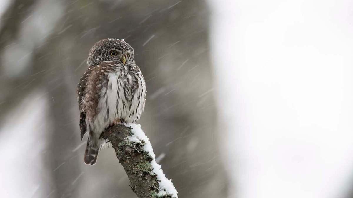 Sparvuggla i snö