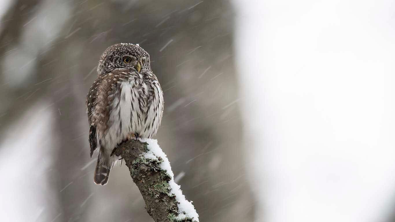 Sparvuggla i snö © Foto Roger Vikström