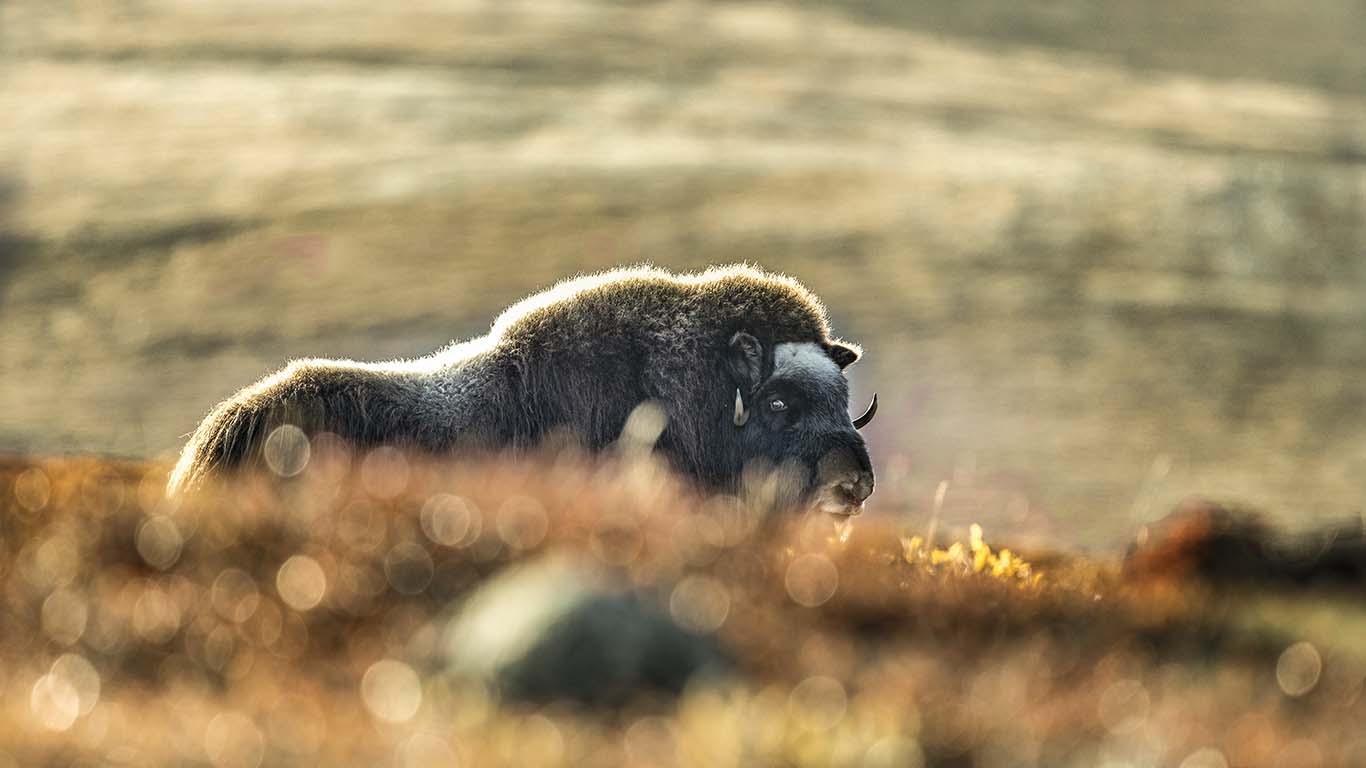 Naturfotograf Roger Vikström.myskoxe