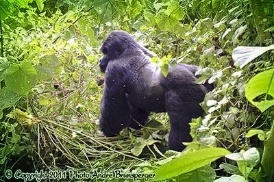 Gorille Safari Rwanda Ouganda, safaris sur mesure, Gorilles des montagnes.