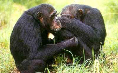 Chimpanzés parc de Kibale Ouganda