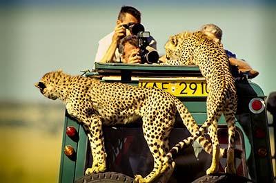 Guépards grimpent sur la voiture Kenya Safari GIR départs le 10 grand parc 7 jours / 6 nuits