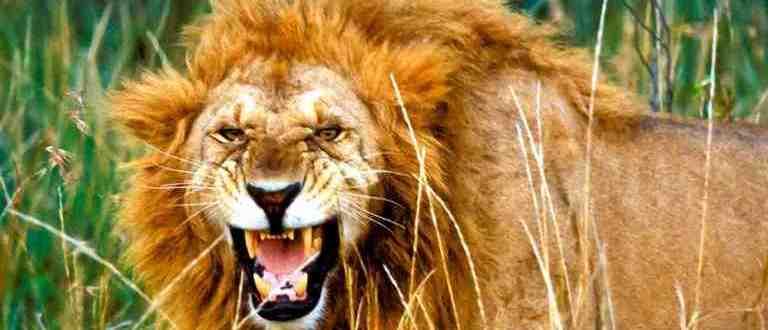 Le lion est méchant au Masaï Mara - Nos safaris au Kenya