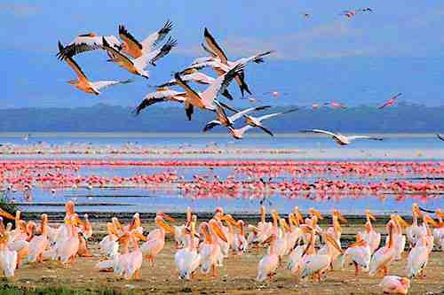 Flamants roses au lac Nakuru. Nos safaris au Kenya