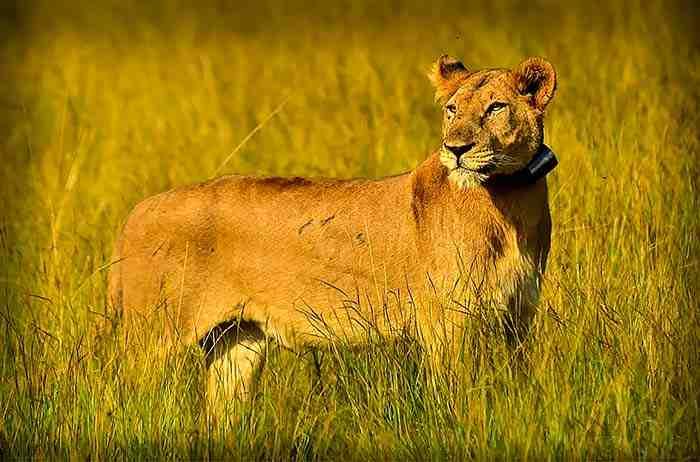 Lionne parc Queen Elisabeth Ouganda - Circuit safari 8 jours Ouganda Rwanda combiné