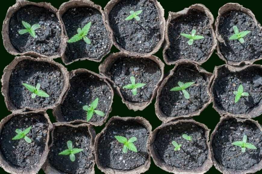 Box of cannabis seedlings