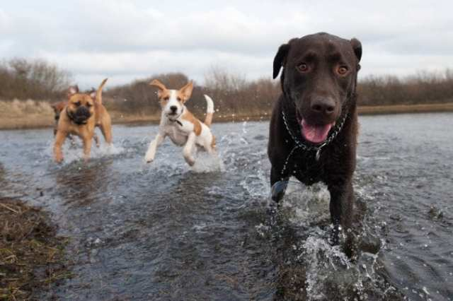 Healthy Running Dogs Playing in Water