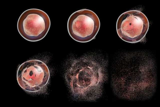 Animation showing stages of apoptosis