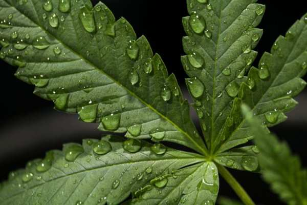 Cannabis leaves close up with water droplets