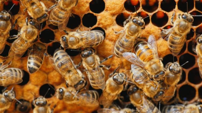 Honey bees on a honey comb