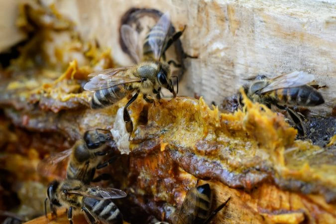 cannabis, propolis, honey, bees, bee hive, cannahoney, bee keeper, bee trainer, cannabis products, legalization