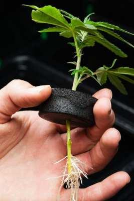 cannabis, cannabis roots, raw cannabis, health benefits, health risks, postpartum depression, phytocannabinoids, ground roots