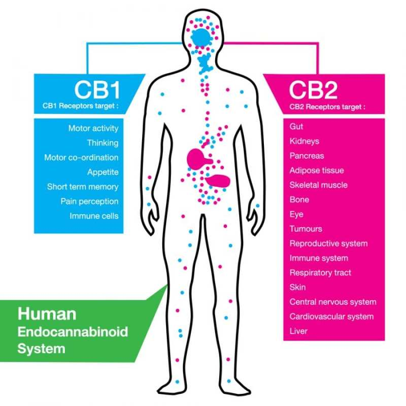 cannabis, CB receptors, CB1, CB2, amino acids, endocannabinoid system, cannabinoids, medical cannabis, recreational cannabis, legalization, research
