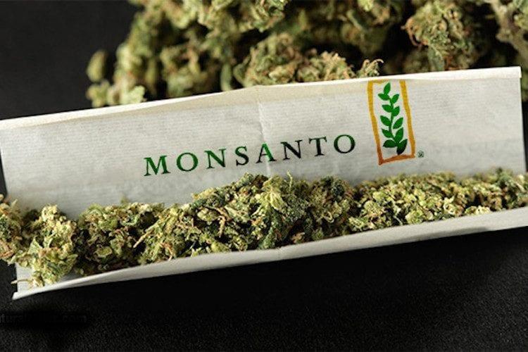 GMO cannabis from Monsanto