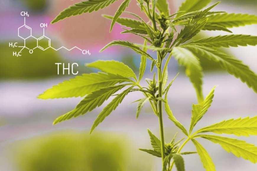 cannabis, THC, CBD, medical cannabis, recreational cannabis, psychosis, legalization, prescription, treatments